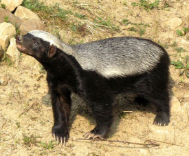 A honey badger